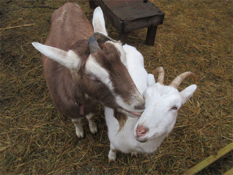 Goats Have Fun at Eco-Justice Center of Racine